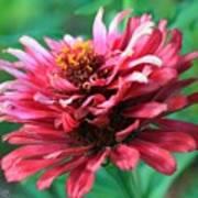 Fuchsia Pink Zinnia From The Whirlygig Mix Art Print