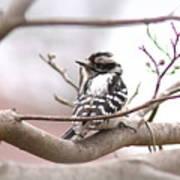 Img_0001 - Downy Woodpecker Art Print