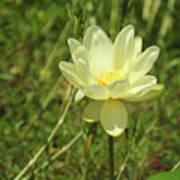 Lotus Flower In Bloom  Art Print