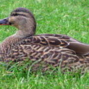 New Zealand - Female Mallard Duck Art Print