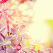 Purple Spring Lilac Flowers Blooming Close-up Art Print