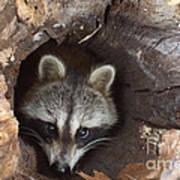 Raccoon Procyon Lotor Art Print