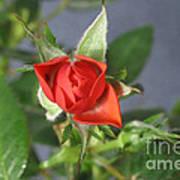 Red Rose Blooming Art Print