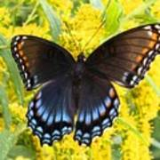 Red-spotted Purple Art Print