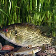 Rock Bass Art Print