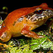 Rosy Ground Frog Art Print