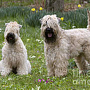 Soft-coated Wheaten Terriers Art Print