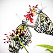 The Extraordinary Rice Paper Butterfly A Series Art Print