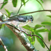 Tufted Titmouse In The Wilds Of South Carolina Art Print