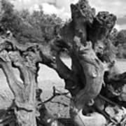 Twisted Driftwood Art Print