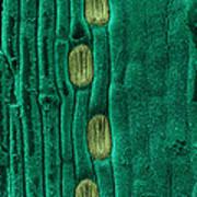 Wheat Leaf Stomata, Sem Art Print