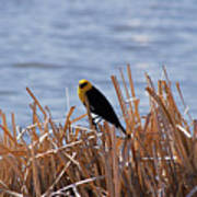 Yellow Headed Blackbird Art Print