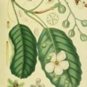 Vintage Botanical Illustration Art Print