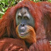 31- Orangutan Art Print