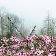 Blossoming Peach Flowers In Spring Art Print