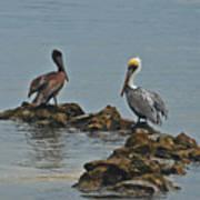 37-  Pelicans Art Print