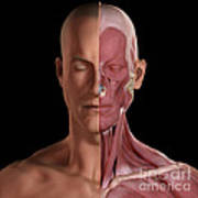Facial Muscles Art Print