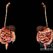 3d Rendering Of Human Digestive System Art Print