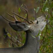 3x3 Buck Mule Deer-signed-#9716 Art Print