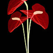Anthurium Flowers, X-ray Art Print