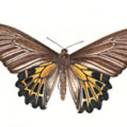 Birdwing Butterfly Art Print