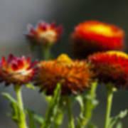 Blurred Seasonal Flower With Dark Background Art Print