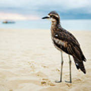 Bush Stone-curlew Resting On The Beach. Art Print