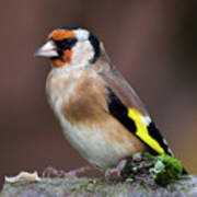 European Goldfinch Bird Close Up   Art Print