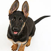 German Shepherd Puppy Art Print