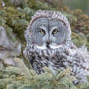 Great Gray Owl Art Print