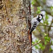 Lesser Spotted Woodpecker Art Print
