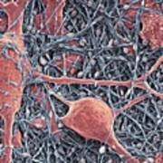 Nerve Cells And Glial Cells, Sem Art Print by Thomas Deerinck, Ncmir