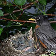 Robin Feeding Its Young Art Print