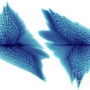 Sturgeon Scales, X-ray Art Print