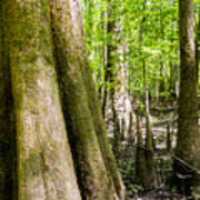 cypress forest and swamp of Congaree National Park in South Caro Art Print