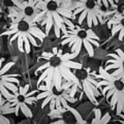 4400- Daisies Black And White Art Print