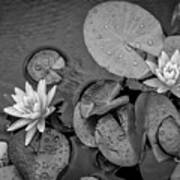 4432- Lily Pads Black And White Art Print