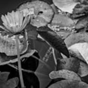 4466- Lily Pads Black And White Art Print