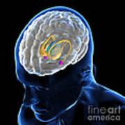 Anatomy Of The Brain Art Print