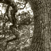 Angel Oak Live Oak Tree Art Print