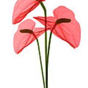 Anthurium Flowers, X-ray Art Print