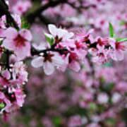 Blossoming Peach Flowers Closeup Art Print