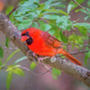 Cardinal Birds Hanging Out On A Tree Art Print