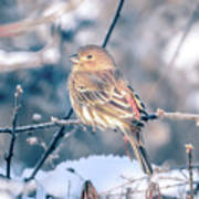 House Finch Tiny Bird Perched On A Tree Art Print