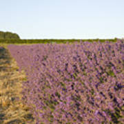Lavender Fields Art Print