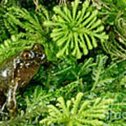 Mehu�n Green Frog Art Print