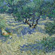 Olive Orchard Art Print