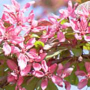 Pink Cherry Flowers Art Print