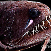 Threadfin Dragonfish Art Print