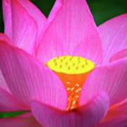 Blossoming Lotus Flower Closeup Art Print